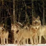 まさか一緒に!? 雪山で歌ったらオオカミたちが合唱してきた!