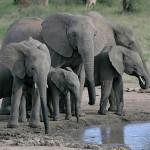 怖い。ゾウに囲まれた不運のライダー、お祈りをする