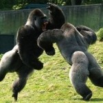 「ウホッウホッ」 強靭な力を持つゴリラ同士の殴り合いがヤバイ